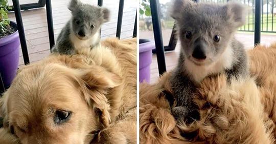 Golden Retriever rettet Baby Koala und nimmt es mit nach Hause