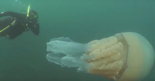 Taucher entdecken eine riesige Qualle so groß wie ein Mensch unweit der britischen Küste
