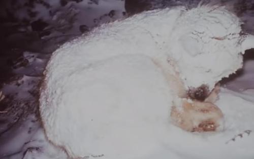 Retter eilen zu Hund, der seit zwei Tagen in eiskaltem Schnee ausharrt und entdecken, dass er etwas beschützt