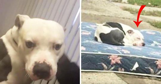 Ausgesetzter Hund wartet geduldig auf Matratze, nachdem seine Besitzer umgezogen sind und ihn zurückgelassen haben