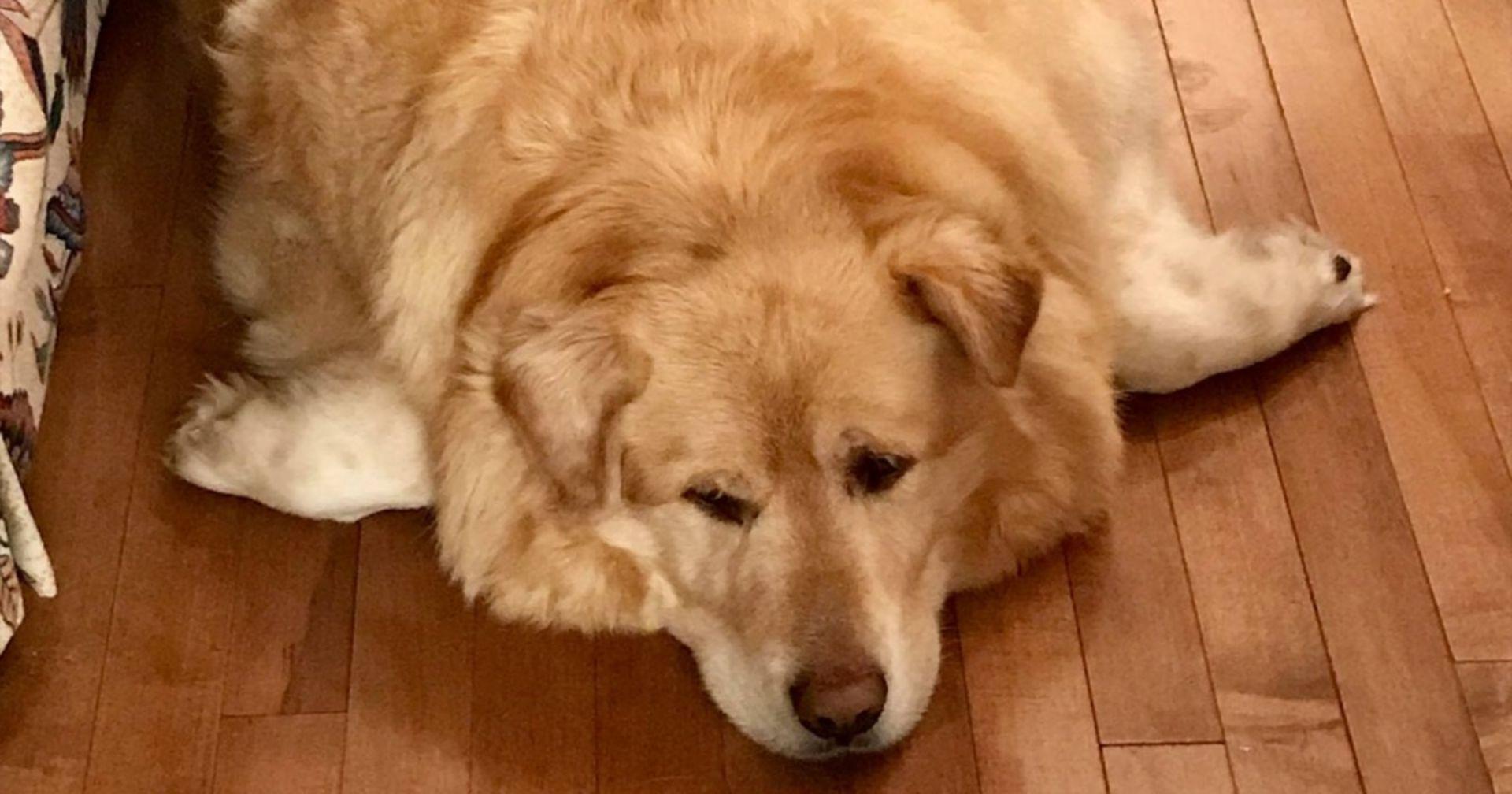 78 Kilo: Golden Retriever Kai hat sich aufgegeben, doch das Schicksal ist noch nicht fertig mit ihm