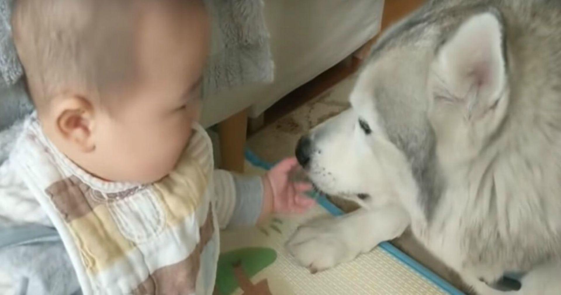Husky trifft Baby. Das Video der beiden versüßt Millionen von Menschen den Tag!