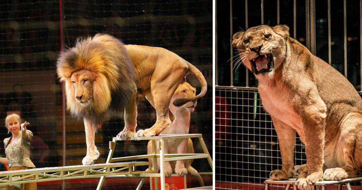 England: Ein Gesetz, das wilde Tiere in reisenden Zirkussen verbieten will, wurde auf den Weg gebracht