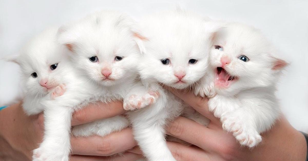 16 Bilder von Maine Coon Kätzchen, die riesig werden