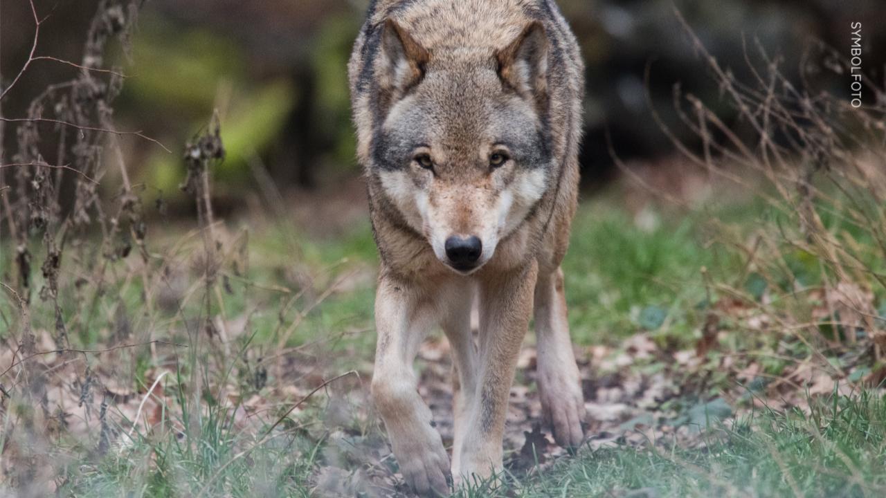 Gericht hat entschieden: Rodewalder Wolf zum Abschuss freigegeben