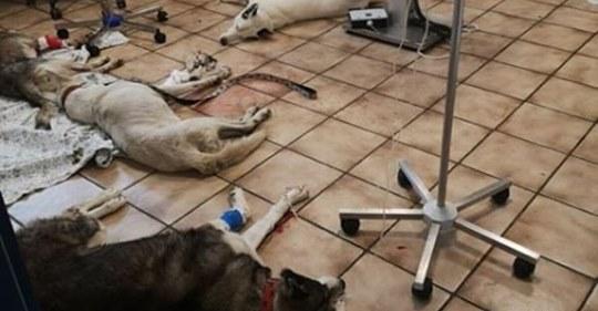 Nach Attentat auf 6 Huskys: Neue Hiobsbotschaft gibt den Hunden den Rest