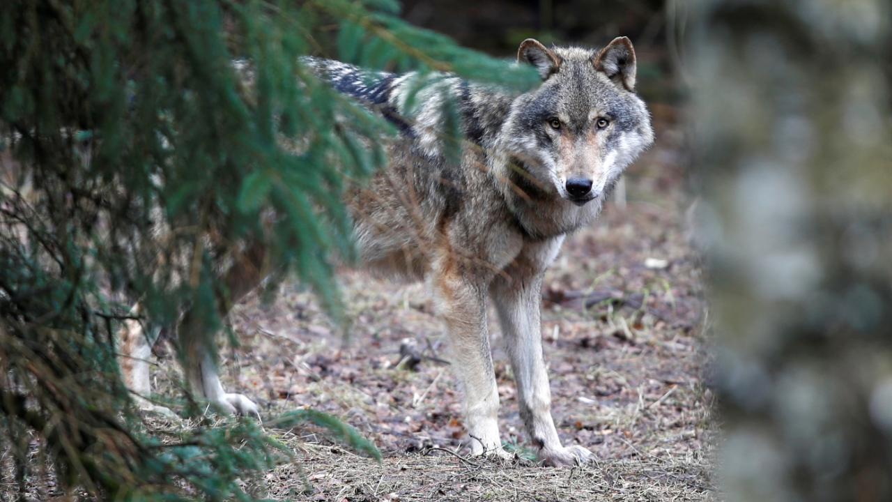 In einem Waldstück in Barmbostel: Wolf in der Südheide erschossen