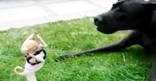 Ein furchtloser Chihuahua versucht, sich in diesem urkomischen Video mit einer Deutschen Dogge anzulegen