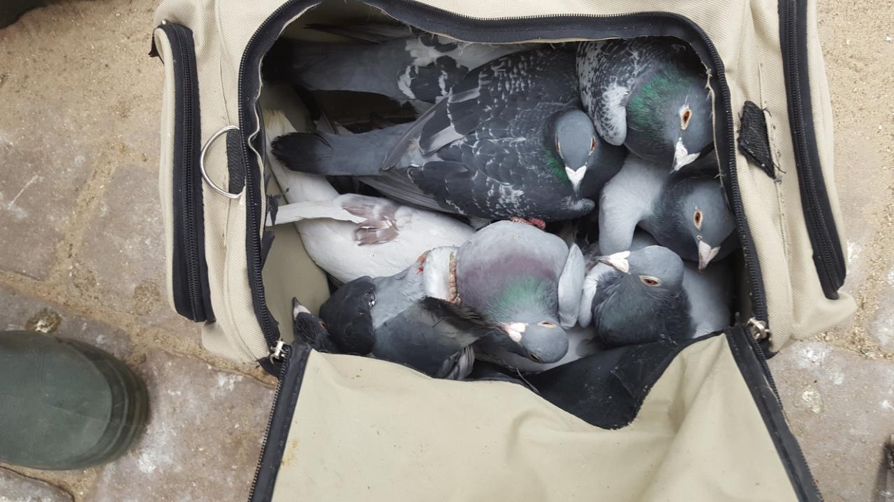 Wem gehören die Tiere? Tauben für 100.000 Euro in der Sporttasche