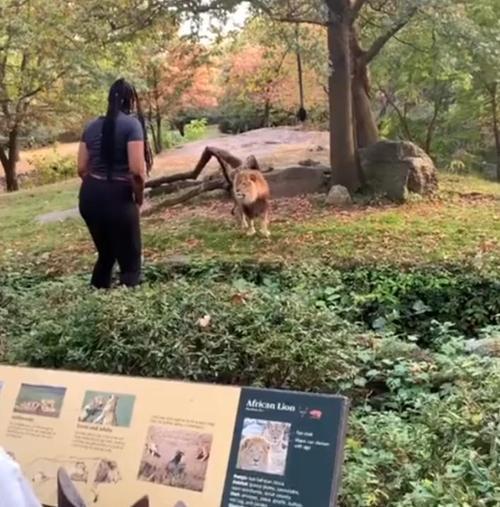 Eine Frau klettert in ein Löwengehege eines Zoos in der Bronx und scheint die Tiere zu provozieren