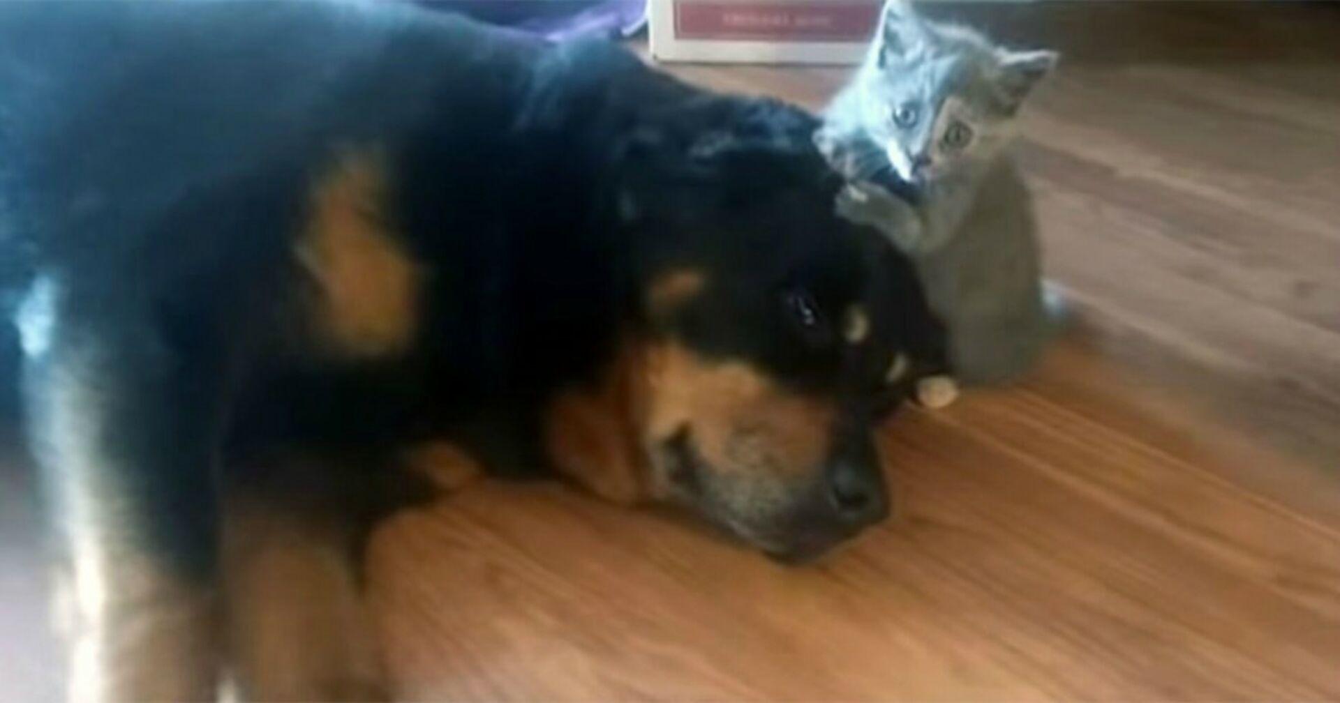 Kätzchen nähert sich vorsichtig riesigem Rottweiler. Als er aufwacht... (Video)