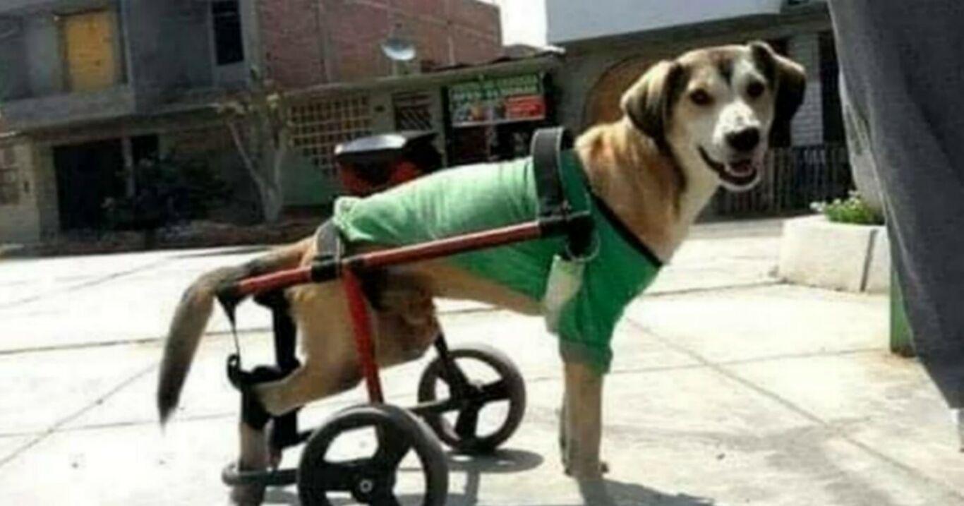 Als wäre es nicht genug: Hund mit Rollstuhl wird Opfer menschlicher Skrupellosigkeit!