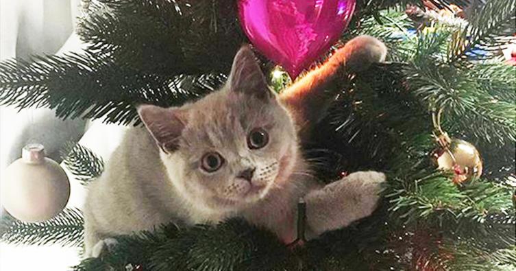 Achtung vor dem Weihnachts-Kletterbaum!