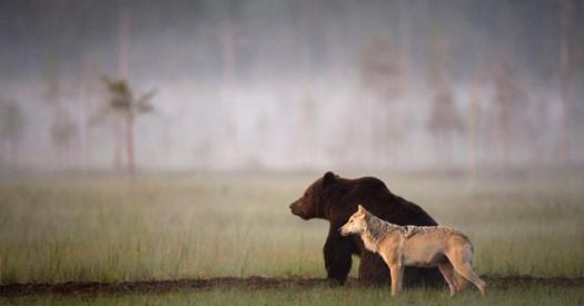 Bär und Wolf streifen gemeinsam durch die Wälder