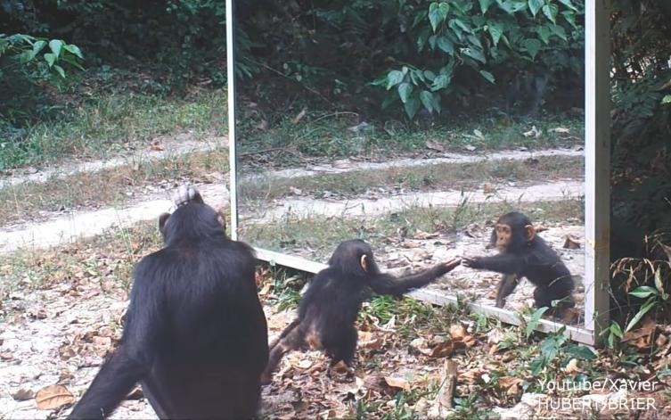 Was passiert, wenn sich ein Schimpanse zum ersten Mal im Spiegel sieht