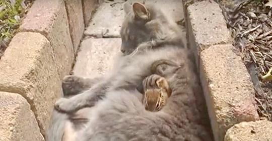 Katze und Streifenhörnchen schließen ungewöhnliche Freundschaft und hören nicht auf, zu kuscheln