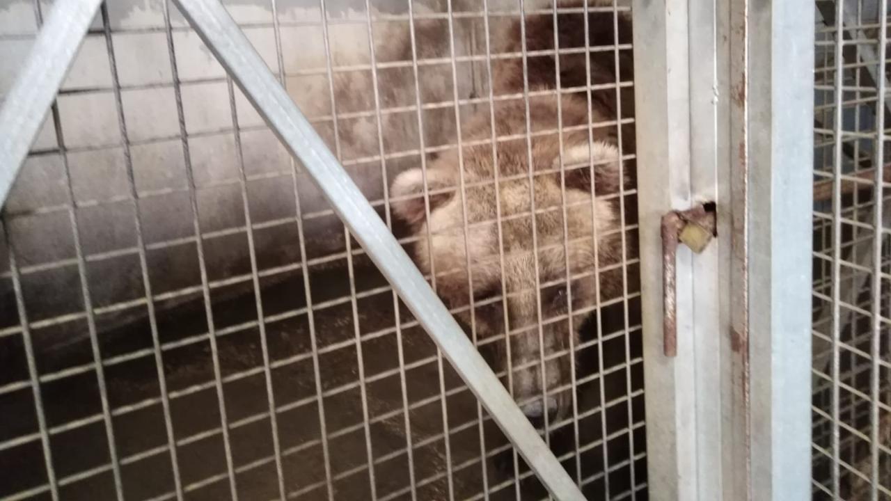 Neue Heimat Mitteldeutschland: Bär aus spanischem Horror Zoo befreit