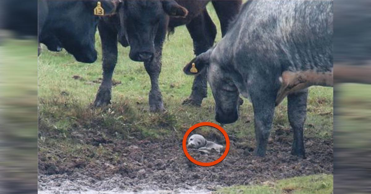 Kühe beschützen verwaistes Robbenbaby auf ihrer Weide.