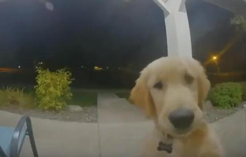 Ein Golden Retriever klingelt an der Tür, um wieder reinzukommen, nachdem er abgehauen war