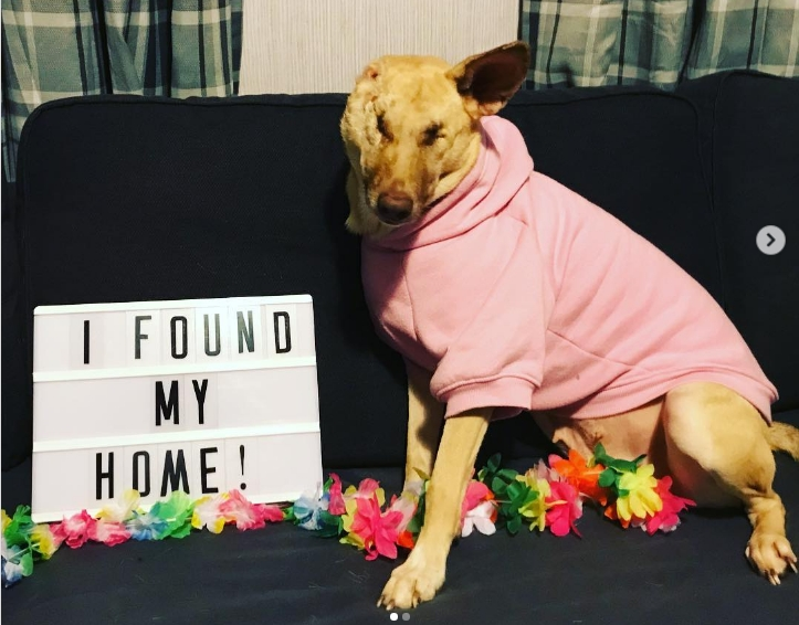Hündin überlebt die brutale Entfernung eines Ohrs sowie 17 Schusswunden und bekommt eine zweite Chance als Therapiehund