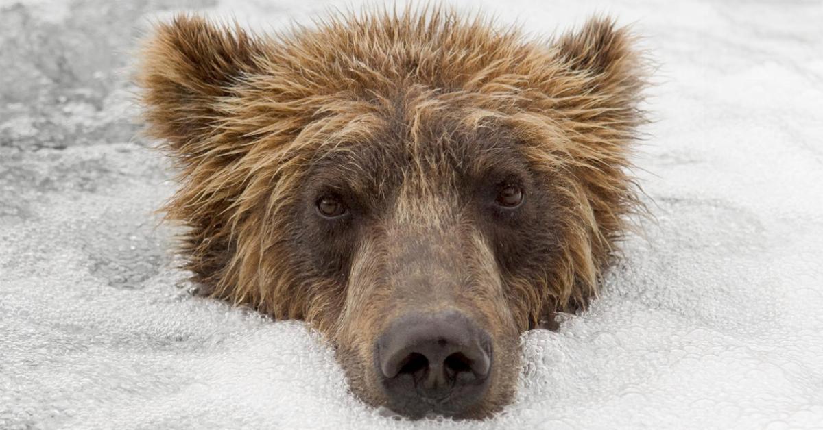 Furchtloser Fotograf geht dicht an wilde Bären heran.