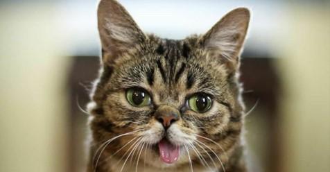Nach schwerer Krankheit: Berühmtes Kätzchen Lil Bub ist tot