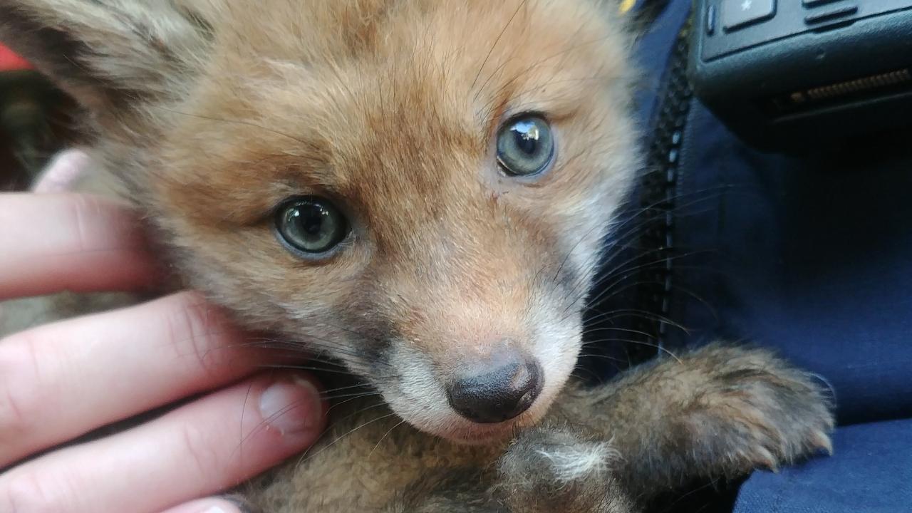 Sie liefen immer wieder über die Straße: Verwaiste Fuchsbabys gerettet