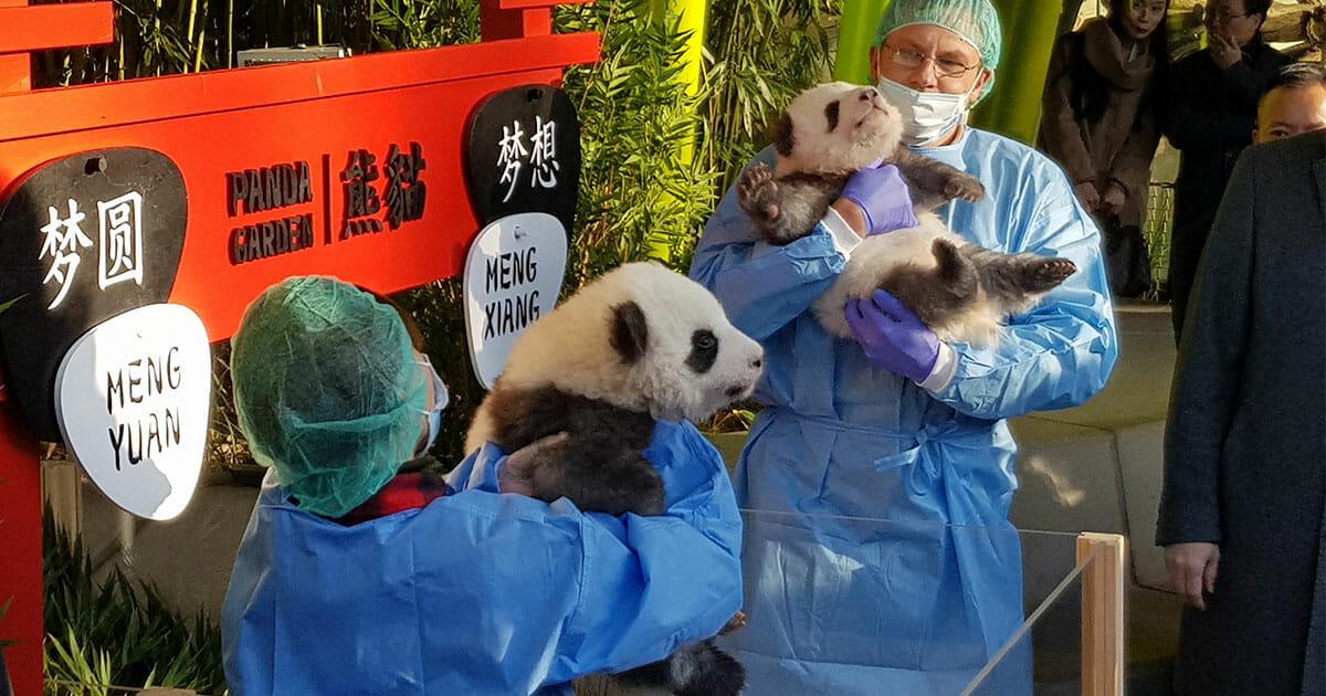 Berlin: Feierliche Namensverkündung und öffentlicher Auftritt Deutschlands erster Panda-Babys