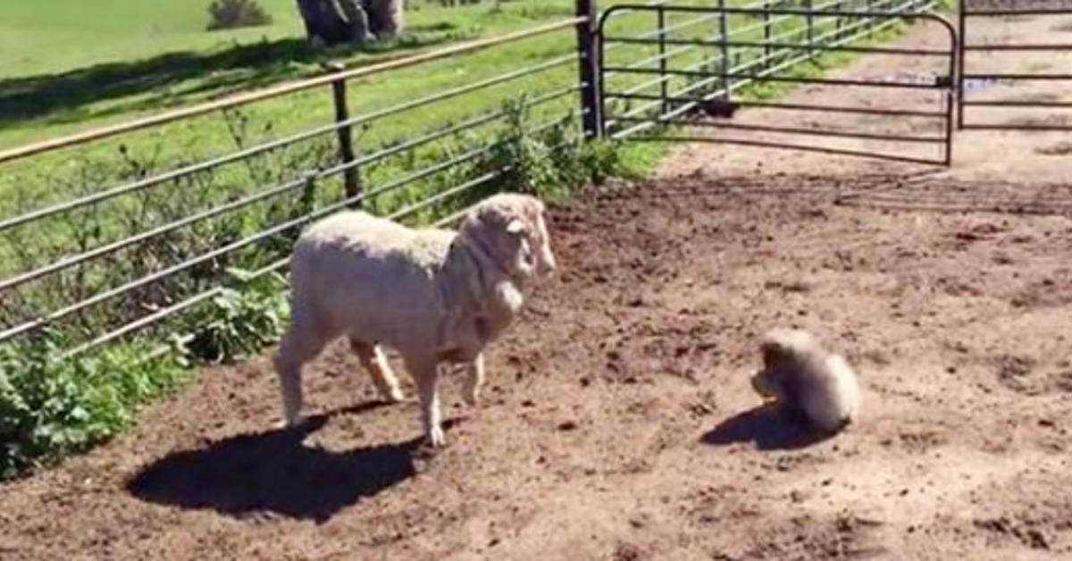 Video: Pekinese wird zum Hütehund und verwirrt Schaf.