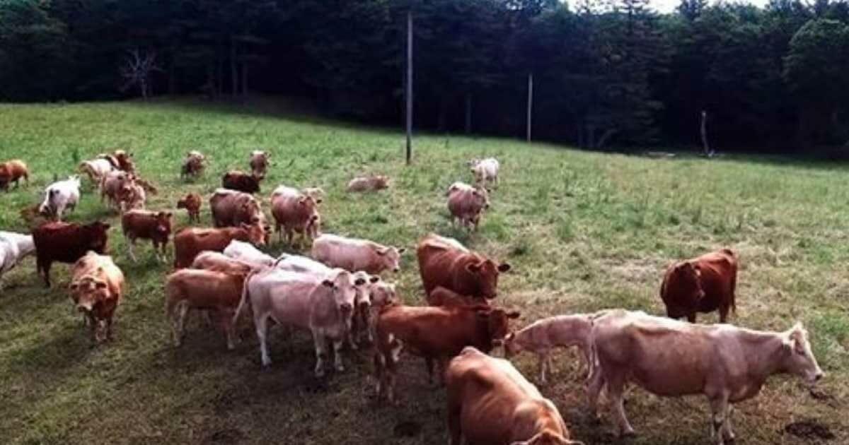 Er fliegt seine Drohne über Kuhherde – entdeckt ein Detail, das ihn sofort zum Bauer rennen lässt