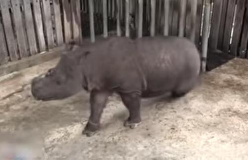 Das letzte Sumatra-Nashorn in Malaysia stirbt, wodurch die Tierart dort nun offiziell als ausgestorben gilt
