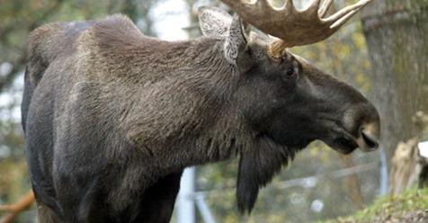 Die Elche streifen wieder durchs Waldviertel