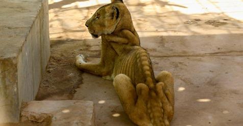 EINER STARB AM MONTAG Löwen in sudanesischem Zoo verhungern