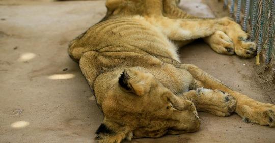 Aktivist entdeckt abgemagerte Löwen in Zoo - nun will er die Tiere retten