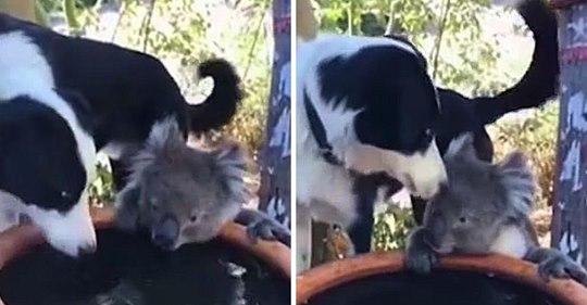 Eine australische Frau filmt einen Koala, der gemeinsam mit dem Familienhund seinen Durst stillt