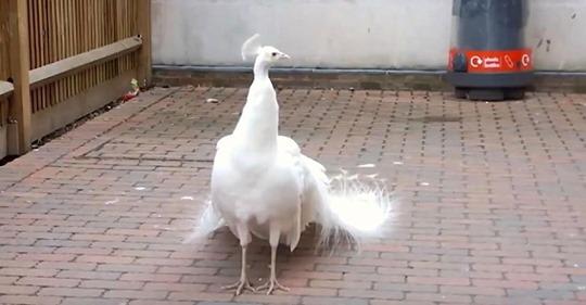 Seltener weißer Pfau sieht gewöhnlich aus, bis er seine Schwanzfedern ausbreitet