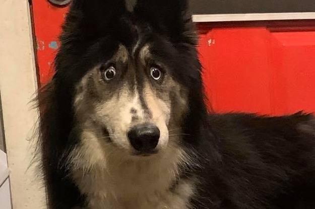 Ein Züchter hat diese Husky Hündin wegen ihrer seltsamen Augenfarbe weggegeben – doch das Netz liebt sie