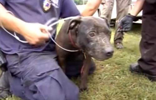 Die Polizei entdeckt 407 Hunde in der größten Hundekampf Razzia der Geschichte