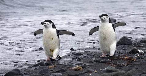 Dramatischer Rückgang: Diese Pinguin Art verschwindet aus der Antarktis