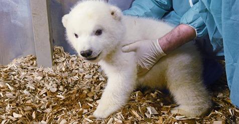 IM ZOO HANNOVER Eisbär-Baby ist ein Mädchen!