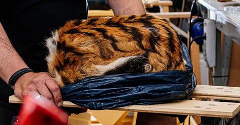 PRIMUS WIRD AUSGESTOPFT Tiger kommt tiefgefroren per Post!