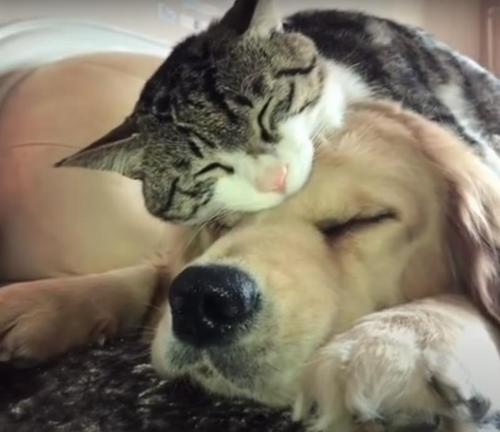 Eine Rettungskatze verliebt sich Hals über Kopf in einen Golden Retriever