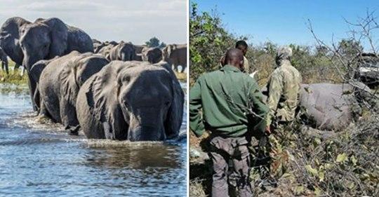 """Mehr als 350 Elefanten wurden tot in Botswana aufgefunden – Ursache für """"Massensterben"""" unklar"""