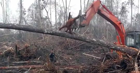Gefährdeter Orang-Utan versucht, gegen einen Bulldozer zu kämpfen – während sein Zuhause zerstört wird