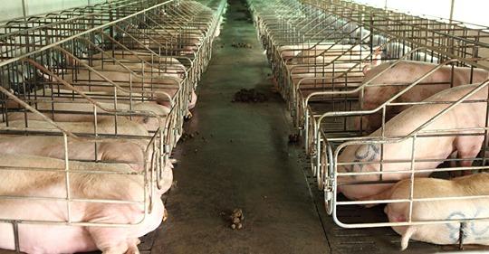 Bundesrat legalisiert Leiden von Mutterschweinen – sie dürfen für 8 Jahre in Kastenstandhaltung gehalten werden
