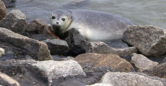 FIT FÜRS WATTENMEER Seehund-Nachwuchs wird ausgewildert