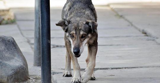Hund flieht vor Schlachter mit zugebundener Schnauze und drohte, auf Straße zu verhungern