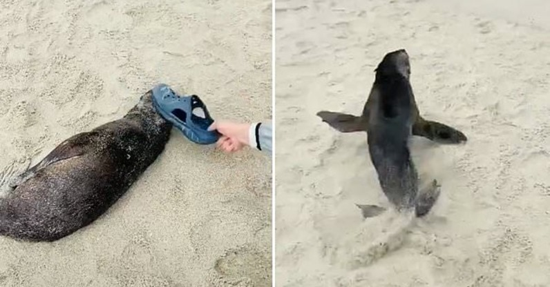 Unverschämter Tourist schlägt arme Baby-Robbe immer wieder mit einem Schuh – nur um bekannter zu werden