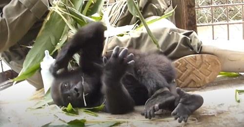 Ein Gorilla Waisenkind freundet sich nach seiner Rettung mit seinem Pfleger an - Die Bilder sind einfach nur köstlich