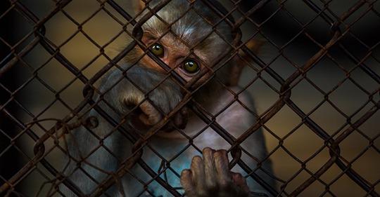 Ermittlungen gegen Primatenzentrum: Zehn Affen sollen nach Tierversuchen grundlos eingeschläfert worden sein